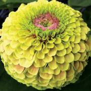 Queeny Lime with Blotch Zinnia Seeds Thumb