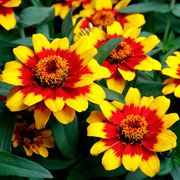 Profusion Red Yellow Bicolor Zinnia Seeds Alternate Image 1