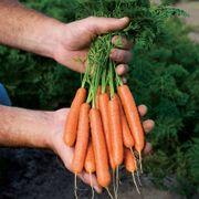 Mini Adelaide Hybrid Carrot Seeds