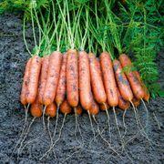Mini Adelaide Hybrid Carrot Seeds Alternate Image 1