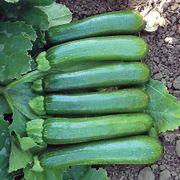 Green Machine F1 Organic Zucchini Seeds Thumb