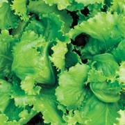 Organic Lettuce Black Seeded Simpson image
