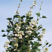 'Silver Moon' White Hyacinth Bean Seeds Thumb