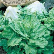 Batavian Full Heart Endive & Chicory Mix Seeds Thumb