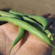 Park's Whopper Bush Bean Seeds Alternate Image 2