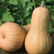Big Chief F1 Butternut Squash Seeds image