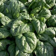 Space F1 Organic Spinach Thumb