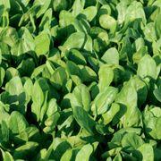 Space F1 Organic Spinach Alternate Image 1
