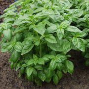 ProEasy Basil Seeds