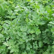 ProEasy Parsley Seeds