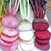 Rainbow Mix Beet Seeds Alternate Image 2