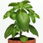Dolce Fresca Basil Seeds Alternate Image 2