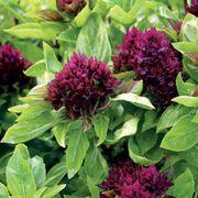 Cardinal Organic Basil Seeds image