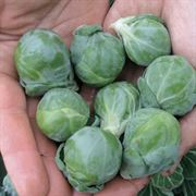 Hestia Hybrid Brussels Sprouts Seeds