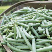 Prevail Bean Seeds