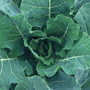 Bulldog Hybrid Collard Seeds