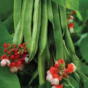 Tenderstar Bean Seeds