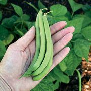 Advantage Bean Seeds