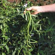 Orient Wonder Yardlong Bean Seeds