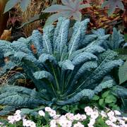 Lacinato Kale Seeds image
