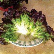 Navara Lettuce Seeds image