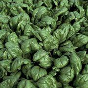 Palco Hybrid Spinach Seeds Alternate Image 1