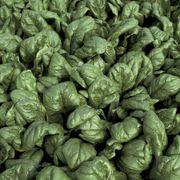 Palco Hybrid Spinach Seeds