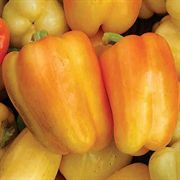 Nikita Hybrid Pepper Seeds