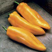 Mama Mia Giallo Hybrid Sweet Pepper Seeds Alternate Image 1