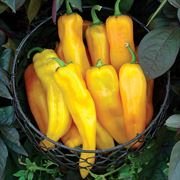 Mama Mia Giallo Hybrid Sweet Pepper Seeds