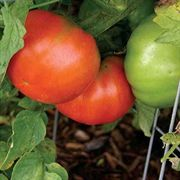 Big Bunch Hybrid Tomato Seeds