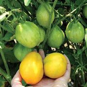 Lemon Tree Tomato Seeds