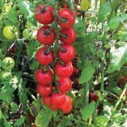 Nectar Hybrid Cherry Tomato Seeds Alternate Image 2