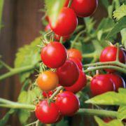 Nectar Hybrid Tomato Seeds image