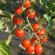 Jasper Hybrid Cherry Tomato Seeds