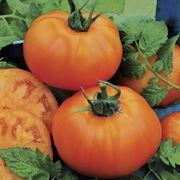 Chef's Choice Orange Hybrid Tomato Seeds Alternate Image 1