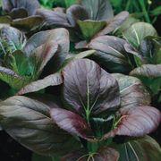 Purple Hybrid Pak Choi Seeds image