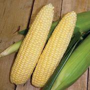 Mentor Mirai® Corn Seeds