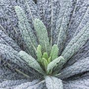 Black Magic Kale Seeds Alternate Image 1