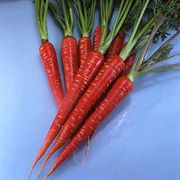 Carrot Red Samurai