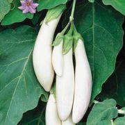 Comet White Hybrid Eggplant Seeds image