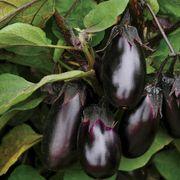 Patio Baby Hybrid Eggplant Seeds Alternate Image 2