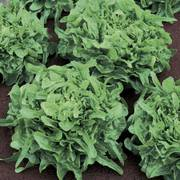 Sandy Lettuce Seeds image