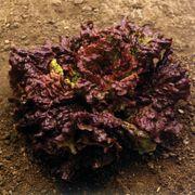 Vulcan Lettuce Seeds