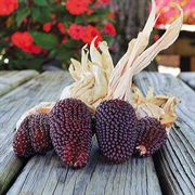 Strawberry Popcorn Corn Seeds