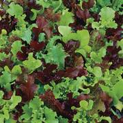 Micro Mini Greens Lettuce Seeds image