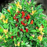 Pretty N Sweet Hybrid Ornamental Pepper Seeds Alternate Image 2