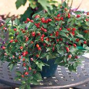 Loco Hybrid Pepper Seeds image