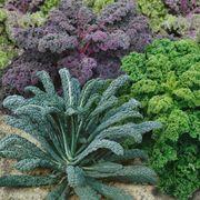 Garden Blend Organic Kale Seeds Alternate Image 1