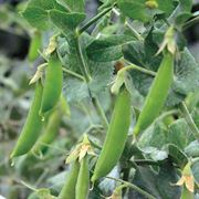 Little SnapPea Crunch Pea Seeds